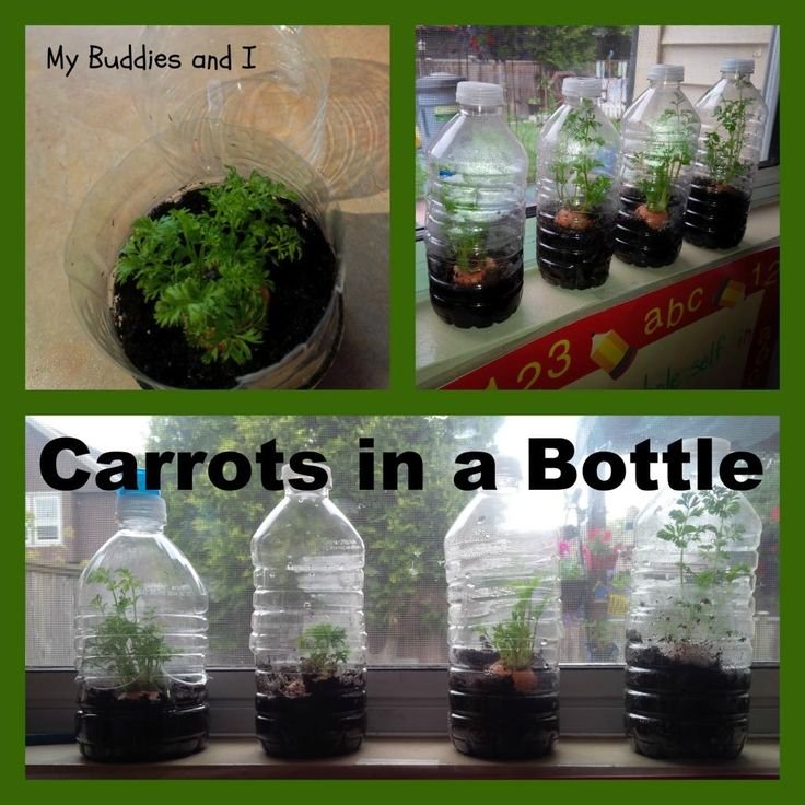 Grow your own carrots in a bottle using the top inch or so of a carrot