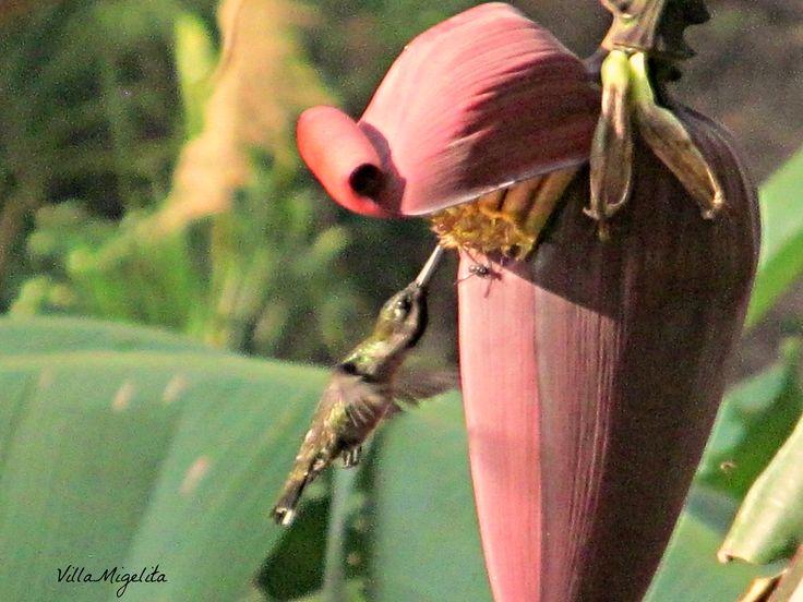 Hummingbird at banana tree