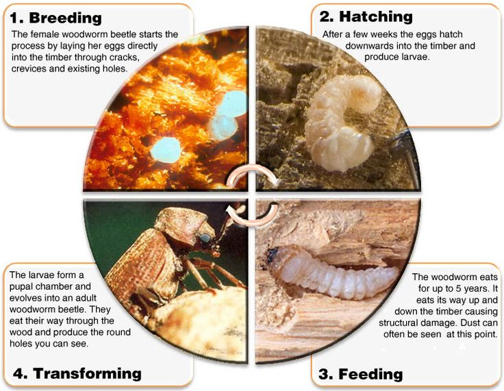 Find out the 4 main stages that woodworm beetles go through. #Woodworm #timber #DIY #homeimprovement #wood #property #properycare #beetles #propertycare #homeimprovement #realestate #bugs #identifywoodworm #larvae Discover more: http://www.wisepropertycare.com/woodworm/what-is-woodworm/lifecycle/
