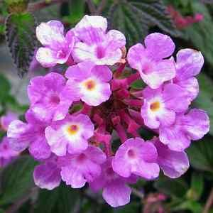 Purple trailing lantana; full sun, drought tolerant, great as ground cover or hanging pots. Zones 9-11.