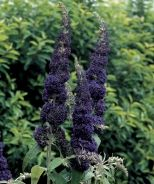 """English Butterfly™..Buddleia davidii 'Adokeep' - Adonis Blue butterfly bush ..Monrovia -fairly compact for a buddleia only 4' x 5'"