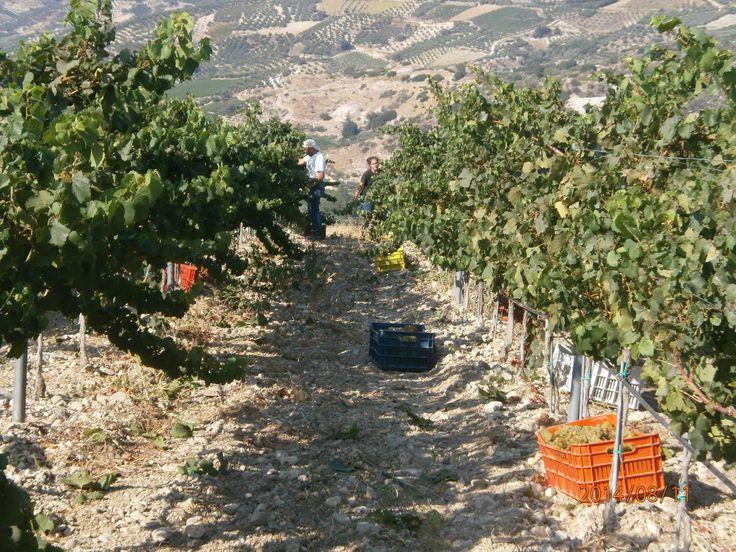 Harvest at Diamantakis #Winery