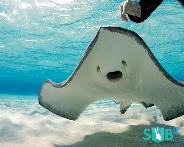 17 best images about stingray on pinterest smiley faces