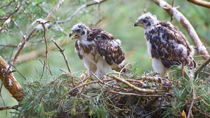 Die hungrigen Habichtjungen wartet schon ungeduldig im Netz auf Futter. Zwei bis vier Junge bekommen Habichte durchschnittlich pro Gelege.