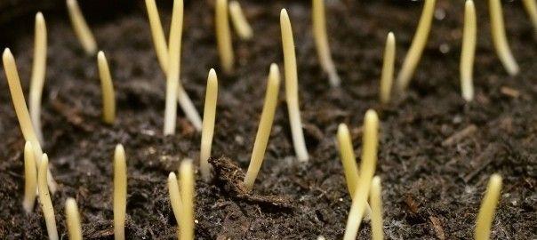 Suttons Seeds Bodacious Sweet Corn Shoots.