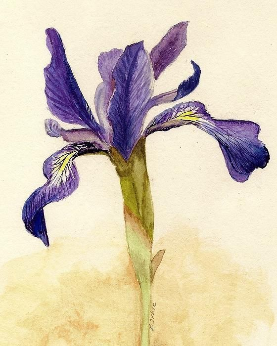 """Prize-winning Iris by Barbie Corbett Newmin placed  4th in Painting division 2013 Light Space and Time Gallery """"Open"""" competition and 5th Overall in October 2013 Light Space and Time Gallery """"Open""""on line competition. Barbie sells watercolors, photography and paper marbling works on http://barbara-corbett.artistwebsites.com."""