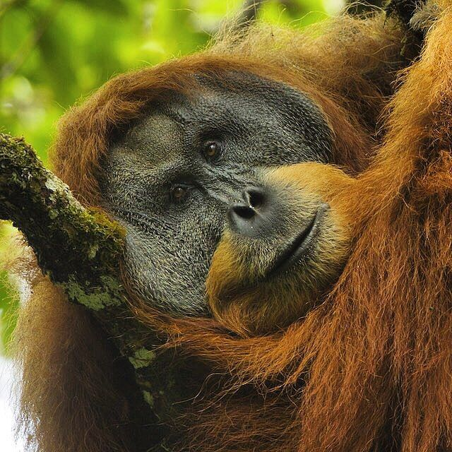 An adult male Sumatran Orangutan taking a mid-day rest in the Batang Toru Forest of Sumatra.
