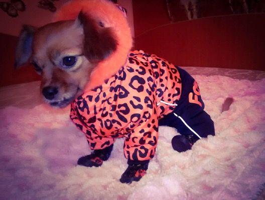 Shasta, delicata si cocheta in Salopeta de Iarna de la King Maru --> https://kingmaru.ro/  #hainecaini #accesoriicaini #imbracamintecaini #caine #caini #catel #catei #dog #dogs #kingmaru