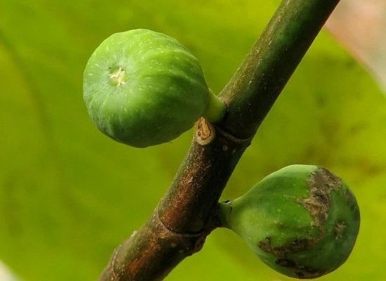 How (and Why!) to Idolize the Green Fig - Organic Authority
