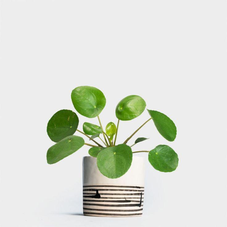 Pilea Peperomioides | Order plants online