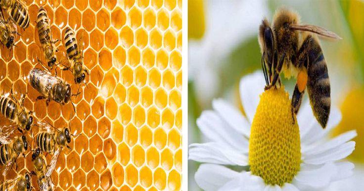 Las abejas juegan un papel muy importante en la vida de todos nosotros, no solo de los seres humanos si no también de la vida salvaje, en los últimos años el número de abejas se ha reducido de una manera muy acelerada y esto esta teniendo impacto en nuestro mundo, son muchas las búsquedas que se realizan en Google sobre lo que pasaría si estos animales se extinguieran pero te diremos aquí lo que pasaría.