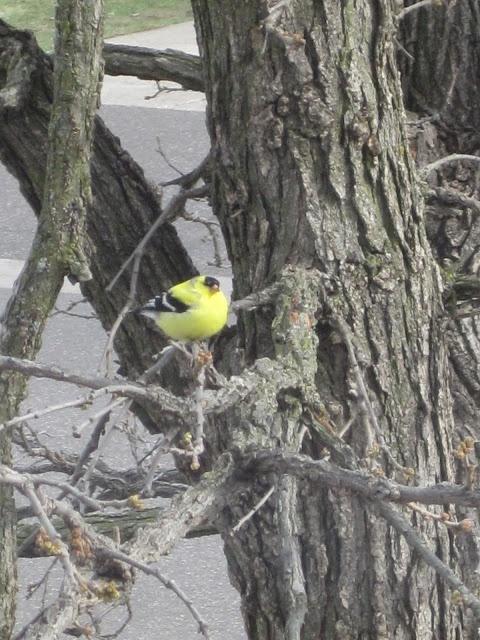 Goldfinch in the Oak Tree...
