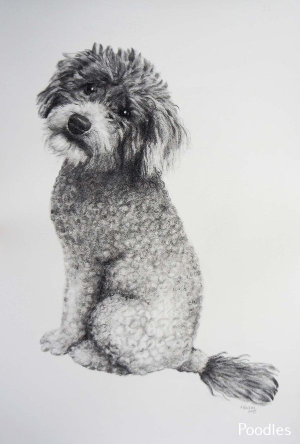 Poodles Smart Active And Proud Poodle Drawing Dog Sketch