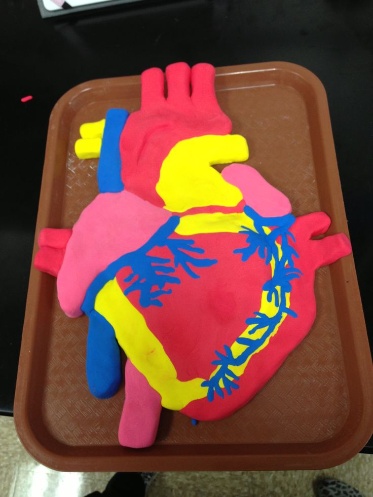 clay model of the heart homeschool science pinterest ear anatomy diagram projects
