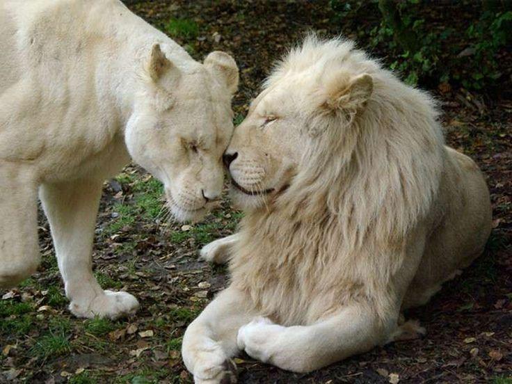 Animali albini più belli - Leone bianco