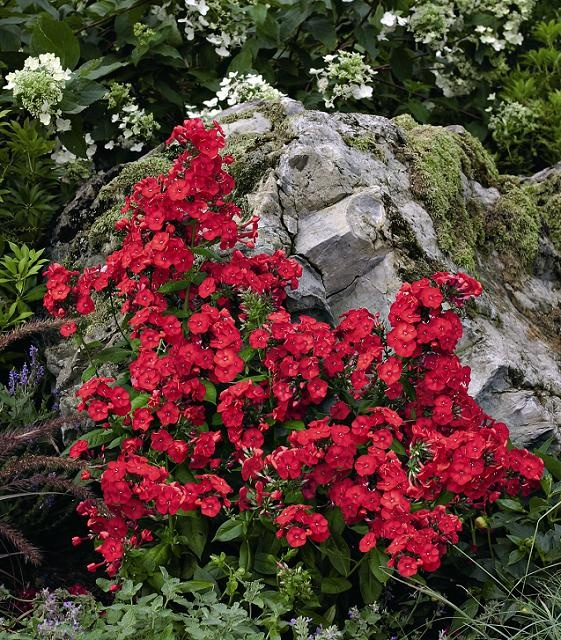Red Volcano Phlox is a great for attracting butterflies to your garden