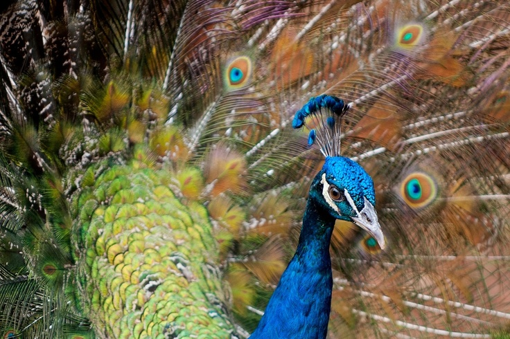 A peacock is seen in a stud farm in Cali, Valle del Cauca department, Colombia on October 7, 2012. AFP PHOTO/Luis ROBAYO