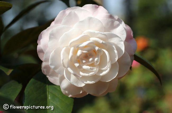 Camellia flower (47)
