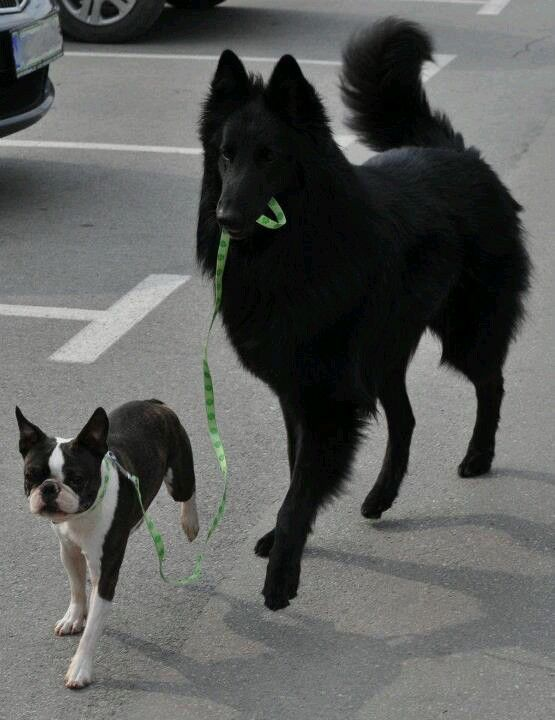 My favorite breeds together! a Boston terrier and belgian sheepdog Groenendael