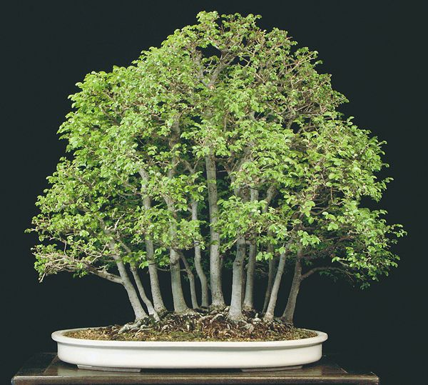 Chinese elm, Ulmus parvifolia- Trained from seedlings since 1988. In summer the bright dark green foliage presents a cool feeling.
