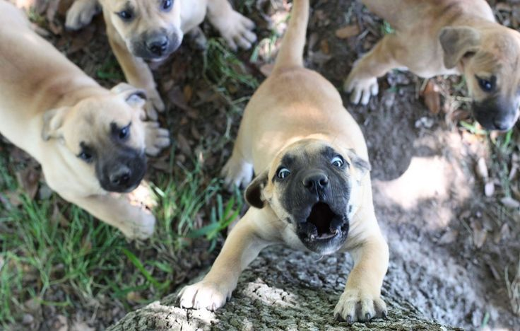Yellow blackmouth curr   puppies - yellow black mouth curs