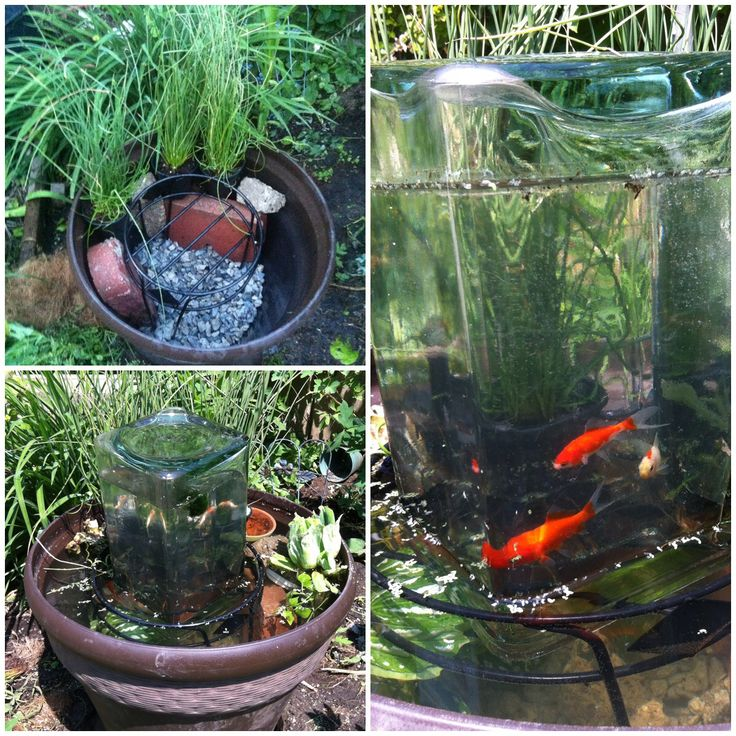 17 best images about gold fish on pinterest container for Planting pond plants in containers
