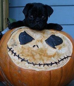 halloween tim burton pug christmas animals - Pugs Halloween