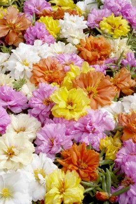 Portaluca Mixed #pohlmansnursery #10pots #gardening #australia