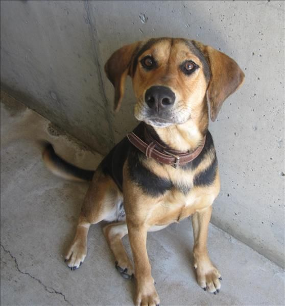 Coonhound cross. So pretty! Her name is Lady and she is in Parksville at the SPCA.