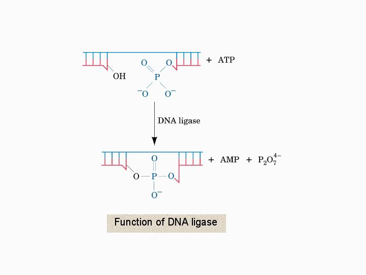 Function of DNA ligase