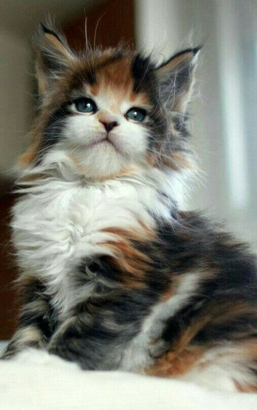 She is absolutely Beautiful perfect little kitty xox