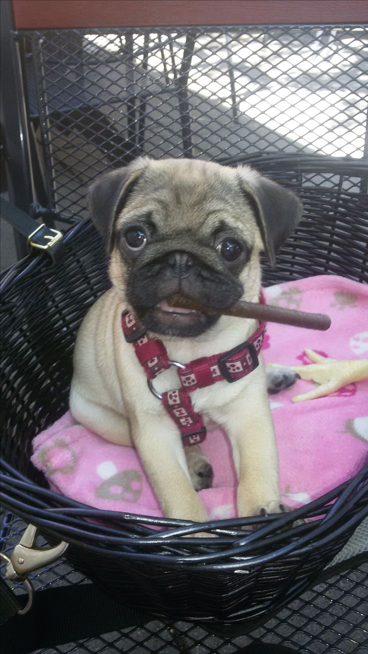 Julia Pug baby