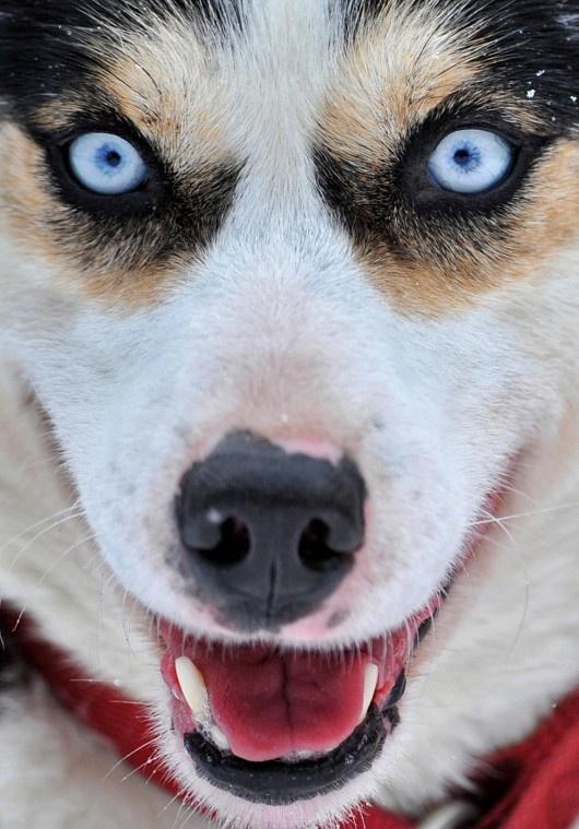 Husky - Hendrik Schmidt: Sled Dogs, Gorgeous Eye, Siberian Husky, Eye Colors, Blue Lights, Amazing Eye, Blue Eye Dogs, Husky Eye, Big Eye