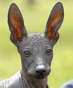 The rare Xoloitzcuintli, or Mexican Hairless Dog - These dogs make excellent companions, as the Aztecs apparently knew since they were considered to be sacred. They believed the dogs were needed by their masters' souls to help them safely through the underworld.
