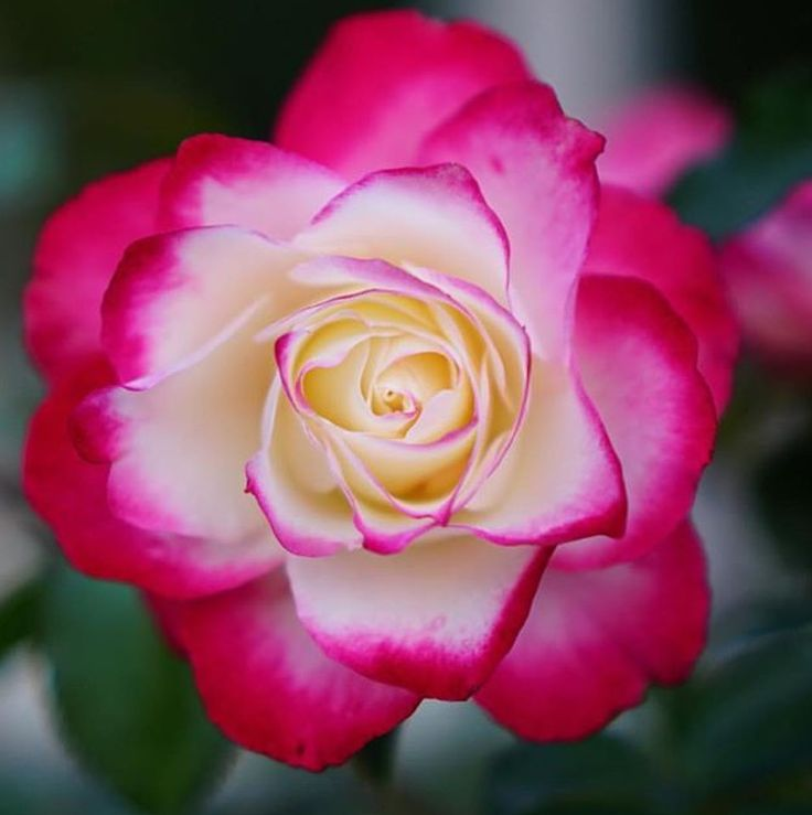 1133 best rare flowers images on pinterest rare flowers beautiful roses i love art flowerspretty mightylinksfo Image collections