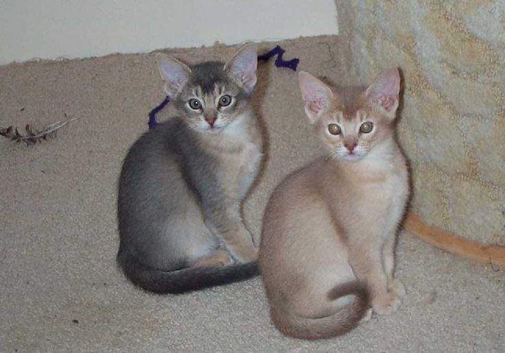 Abyssinian Cat Lilac | Animals | Pinterest | Abyssinian ...