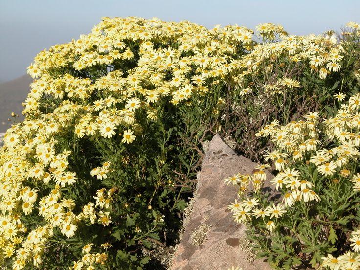 Argyranthemum maderense