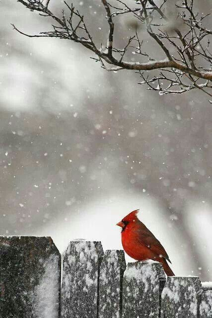 Winter cardinal winter snow pinterest - Pictures of cardinals in snow ...