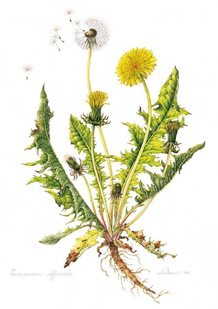 ботаническая открытка одуванчик лекарственный заканчивается теплая