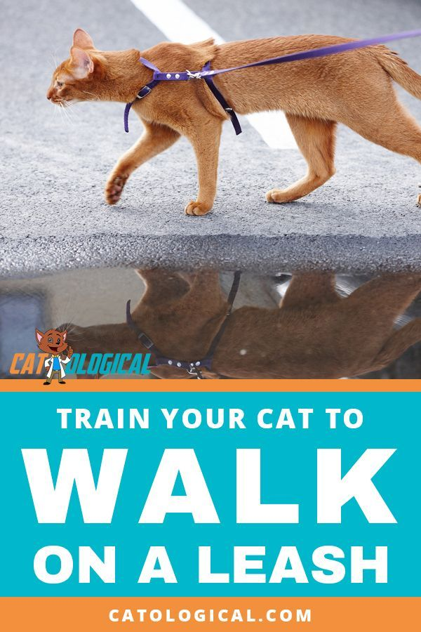 How To Train Your Cat To Walk On A Leash Is It Even Possible Many Indoor Cats Love To Get Outside But It Can Be Hard To Kn Indoor Cat