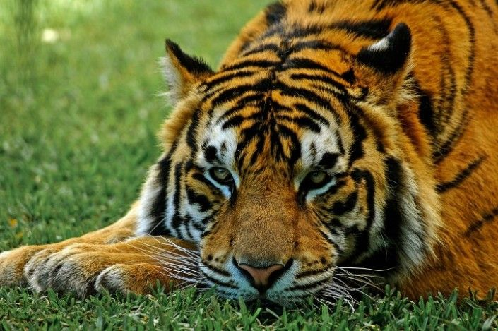 Animal Whisperer Faye Rogers : Do You Ever Have Animals Calling? Tigers Come Calling!!!
