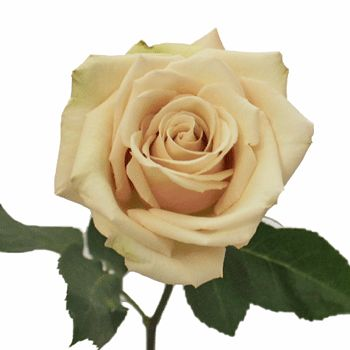 Sahara Cream Rose | Sahara Cream Rose opens into an eye-pleasing bloom with unique coloring. This sandy cream bloom contrasts beautifully against its dark green foliage, and would make a wonderful arrangement combined with our creamy ivory peony roses. (Fiftyflowers.com)