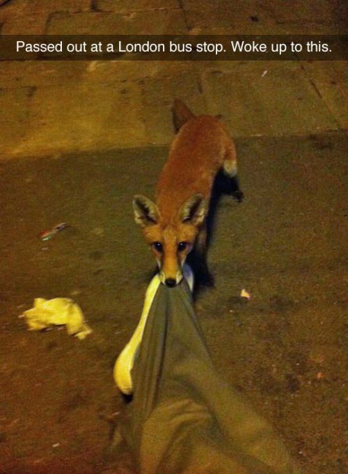 """""""Passed out at a London bus stop. Woke up to this. #funny"""" moral of the story: don't fall asleep at our bus stops. You might wake up to a raccoon or a pitbull"""