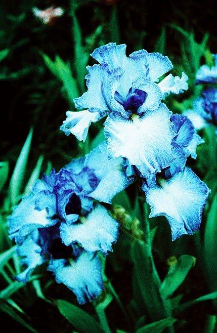 bearded irises, my favorite flower.  picture taken at Shreiner's Iris Gardens in Oregon.