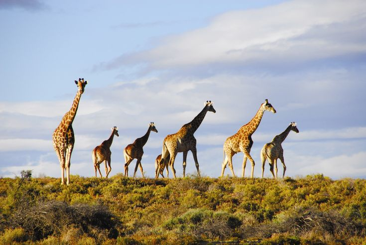 Enjoy an open game drive in Aquila Private Game Reserve. View a plethora of wildlife including lion, giraffe, etc!