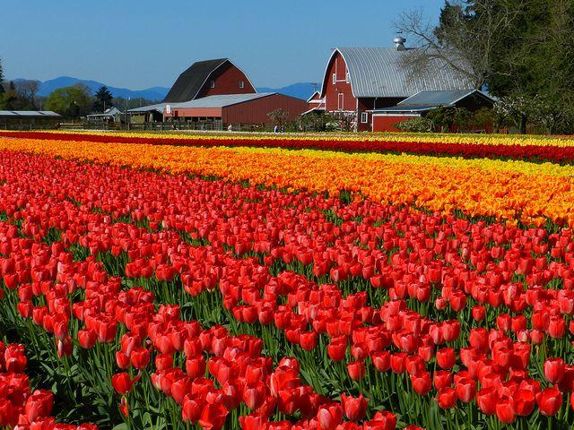 Os campos de tulipas da Holanda