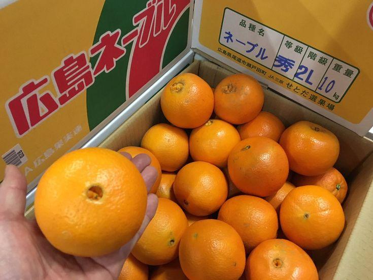 今しか食べられません!   #瀬戸田のネーブル