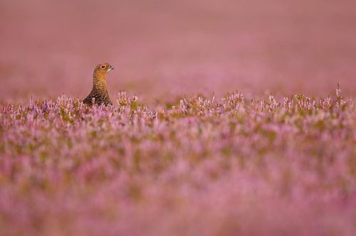 A handsome Red grouse Lagopus lagopus scotica in a sea of blooming heather. Composed with the bird small in the frame to show more of the beautiful habitat. . We shot a video with @simonroyphotography to find out how he captures amazing photos like this. . Watch the video at the link in the description! via Practical Photography on Instagram - #photographer #photography #photo #instapic #instagram #photofreak #photolover #nikon #canon #leica #hasselblad #polaroid #shutterbug #camera #dslr…