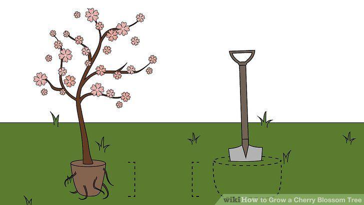 How To Grow A Cherry Blossom Tree Cherry Blossom Tree Blossom Trees Blossom House