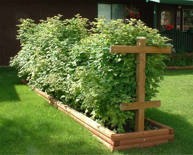 Raspberry Bushes with trellis. This is a good way to plant berry bushes, which can be very invasive. These are apart from other garden areas, so unlikely to spread into unwanted areas.